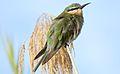 Blue-cheeked bee-eater, Merops persicus, Chobe National Park, Botswana (32486091725).jpg
