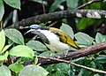 Blue-faced Honeyeater (32746458281).jpg