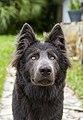 Blue Bay Shepherd at six months.jpg