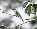 Blue throated beeater - Lip Kee.jpg