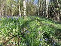 Bluebells at top of Kidnalls - April 2012 - panoramio.jpg