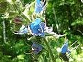 Blueweed 2.jpg