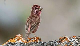 Blyths rosefinch species of bird