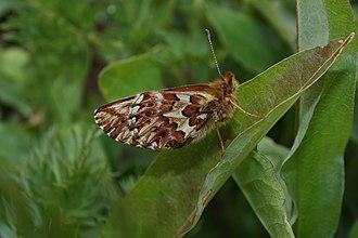 Boloria chariclea - B. c. montinus wing underside