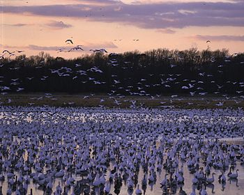 Bombay Hook NWR, Smyrna, Delaware: hundreds of...