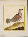 Bonasa betulina - 1700-1880 - Print - Iconographia Zoologica - Special Collections University of Amsterdam - UBA01 IZ17100377.tif