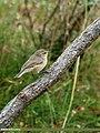 Booted Warbler (Iduna caligata) (24800706305).jpg
