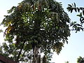 Boppaayi tree.JPG