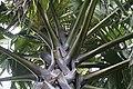 Borassus flabellifer 3zz.jpg