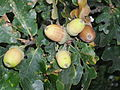Boscobel - Tercentenary Oak acorns.jpg