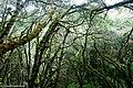 Bosque montano de Podocarpus parlatorei en Yungas de Catamarca, Argentina.JPG