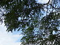 Botanical Garden of Peradeniya 68.JPG