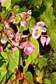 Botanischer Garten der Universität - Begonia grandis 2012-10-19 14-32-09.JPG