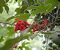 Brachychiton bidwillii IMG 2576.jpg