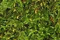 Brachythecium salebrosum (11590573413).jpg