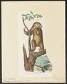 Bradypus didactylus - 1700-1880 - Print - Iconographia Zoologica - Special Collections University of Amsterdam - UBA01 IZ21000179.tif