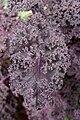 Brassica oleracea var. sabellica, RHS at Tatton Park, 2009-2.jpg