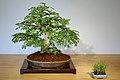 Brazilian Rain Tree (Chloroleucon torum) (3502433154).jpg