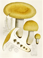 Bresadola - Russula foetens.png