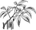 Britannica Hickory Carya alba.png