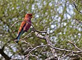 Broad-billed Roller (Eurystomus glaucurus) (11924537795).jpg