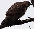 Broad-winged hawk-1 - Flickr - Ragnhild & Neil Crawford.jpg