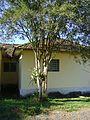 Bromélia em árvore em frente a casa.jpg