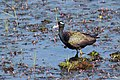 Bronze winged jacana. (37849324656).jpg