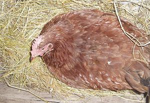 English: A broody Rhode Island Red hen guardin...