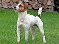 Brooks Chase Ranger of Jolly Dogs Jack Russell.jpg