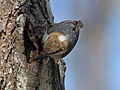 Brown-headed Nuthatch RWD13c.jpg
