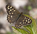 Brown Butterfly (4611211643).jpg