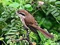 Brown Shrike I IMG 3580.jpg