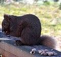 Brown Squirrel 3931 (5205340528).jpg
