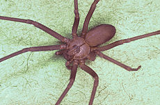 Brown recluse spider, Loxosceles reclusa.jpg