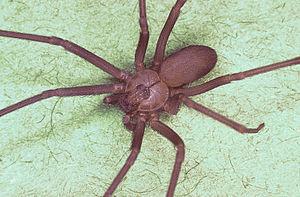 Die braune Aussiedlerspinne 300px-Brown_recluse_spider%2C_Loxosceles_reclusa