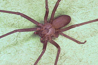 Sicariidae - Brown recluse spider (Loxosceles reclusa)