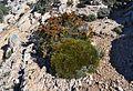 Bruc i coixí de monja, Puig Campana.jpg