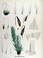 Bryum bimum — Flora Batava — Volume v17.jpg