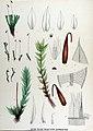 Bryum pseudo-triquetrum — Flora Batava — Volume v17.jpg