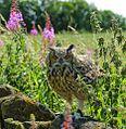 Bubo bengalensis -Cluny, Fife, Scotland -captive-8 (1).jpg