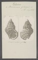 Buccinum glaciale - - Print - Iconographia Zoologica - Special Collections University of Amsterdam - UBAINV0274 085 08 0003.tif