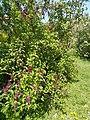 Buda Arboreta. Lower Garden, lilac flower. - 2016 Újbuda.jpg