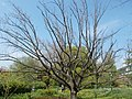 Budai Arborétum. Felső kert. Kocsányos tölgy (Quercus robur). Without leaves. - Budapest.JPG