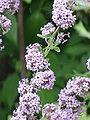 Buddleja alternifolia4.jpg