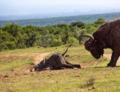 Buffalo attack elephant calf, Nairobi.png