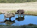 Buffaloes and their reflection. Lake Nakuru National Park. - panoramio.jpg