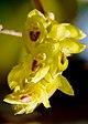 Bulbophyllum rosemarianum Sath.Kumar, P.C.S.Kumar & Saleem (6673866219) - cropped.jpg
