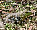 Bullfrog (5799355363).jpg