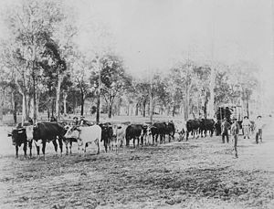 Kilcoy, Queensland - Bullock team hauling timber in the Kilcoy district, ca. 1912